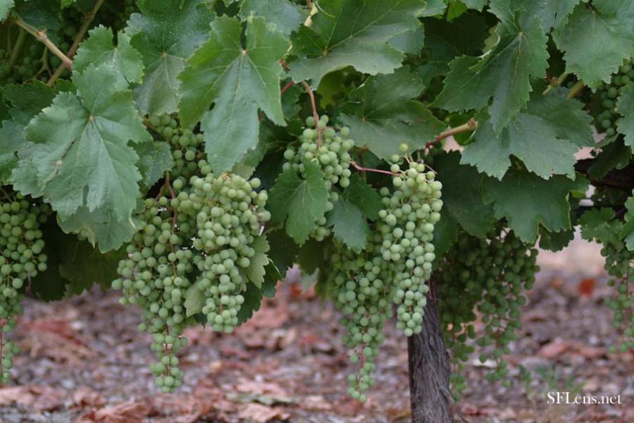 Ozomatli – Mondavi Winery